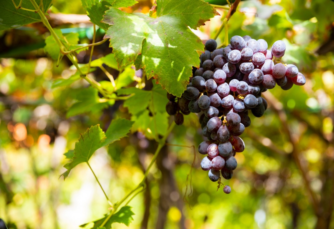 The protection and fertilisation of vineyards as an example of sustainable agriculture