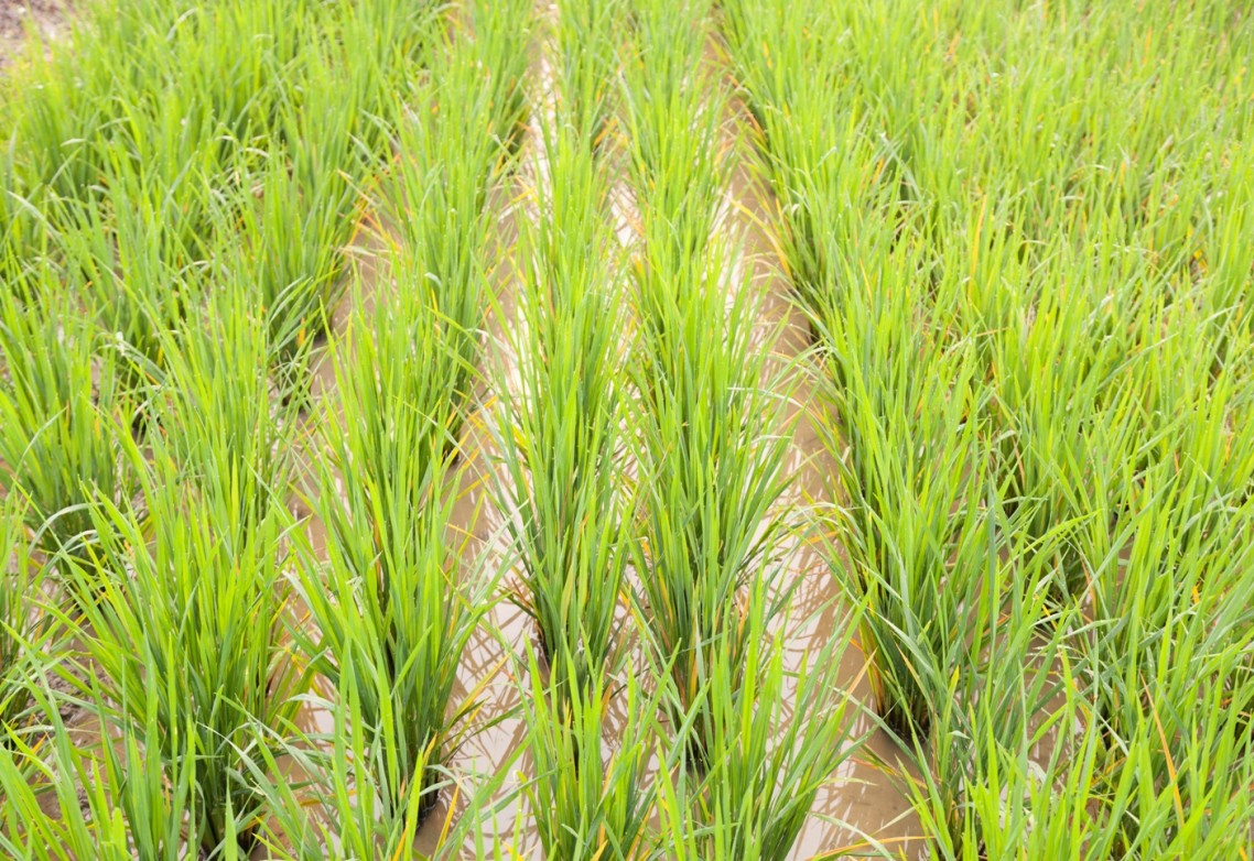Elemental sulphur or sulphur in the form of sulphates: Which nutrition should be applied to your crops?