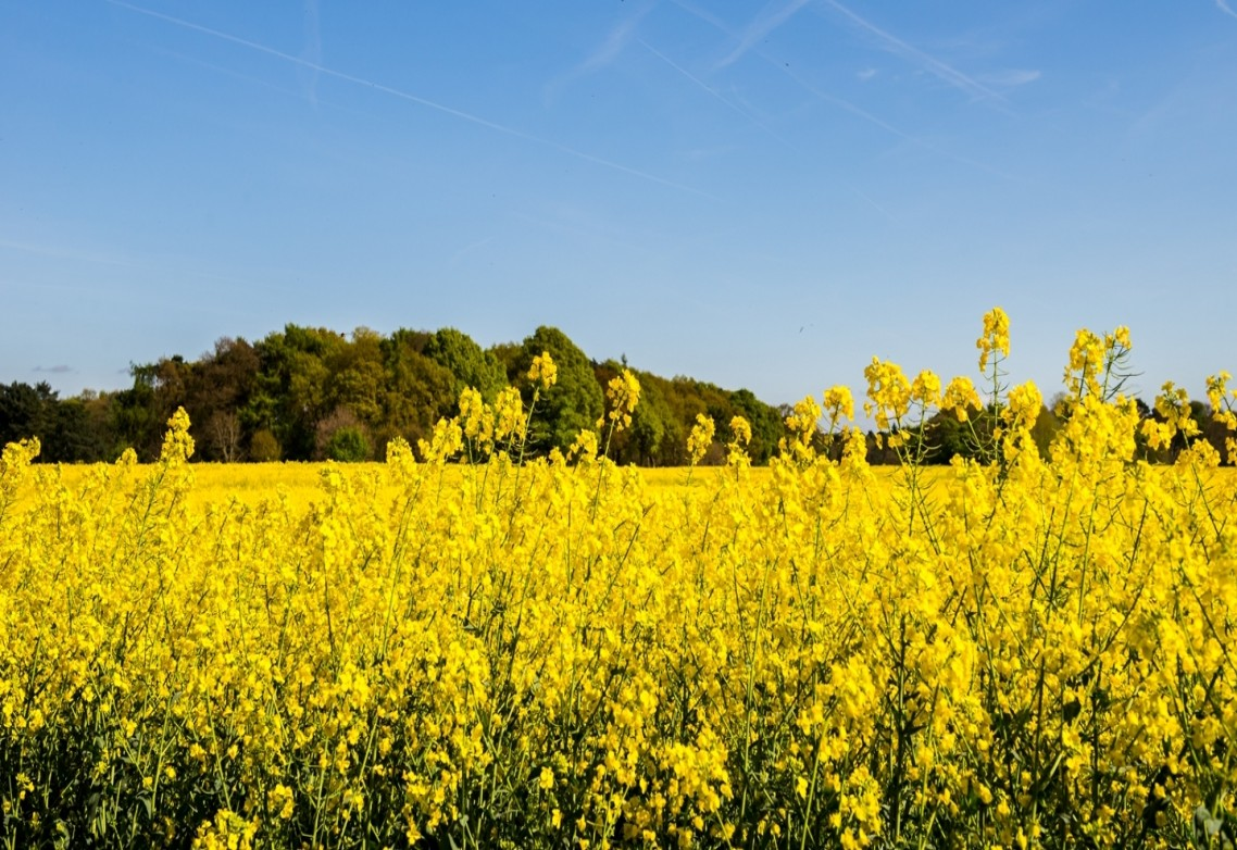 Sulphur for agricultural use: To what extent does it promote development and yield in rapeseed cultivation?