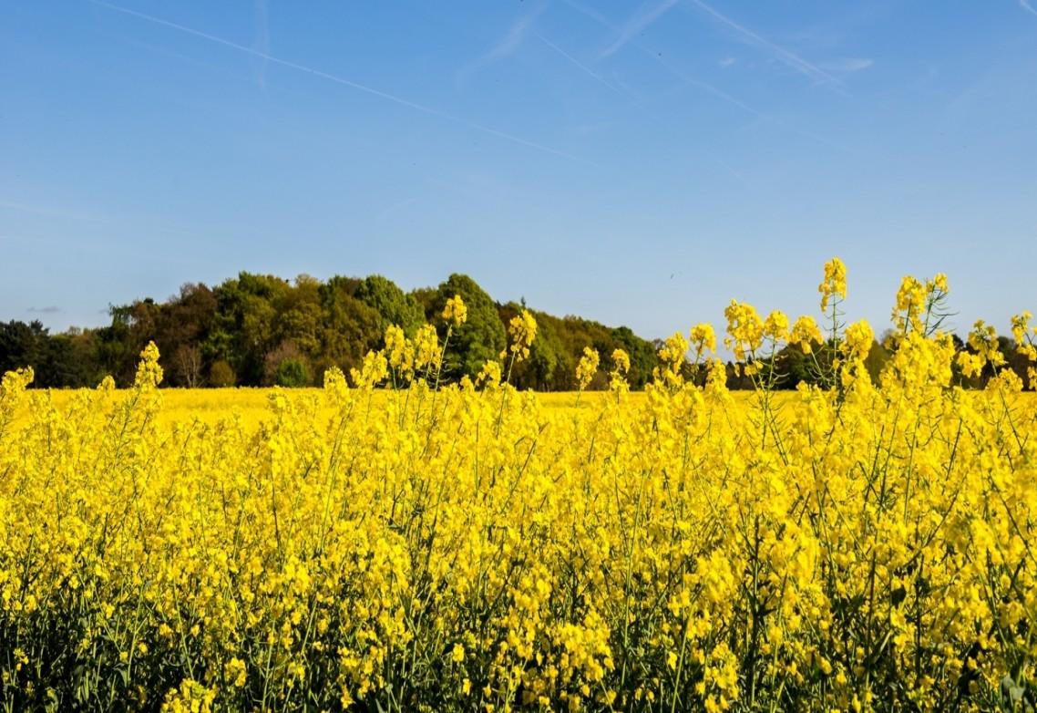 El azufre para uso agrícola: ¿En qué medida favorece el desarrollo y el rendimiento en el cultivo de colza?