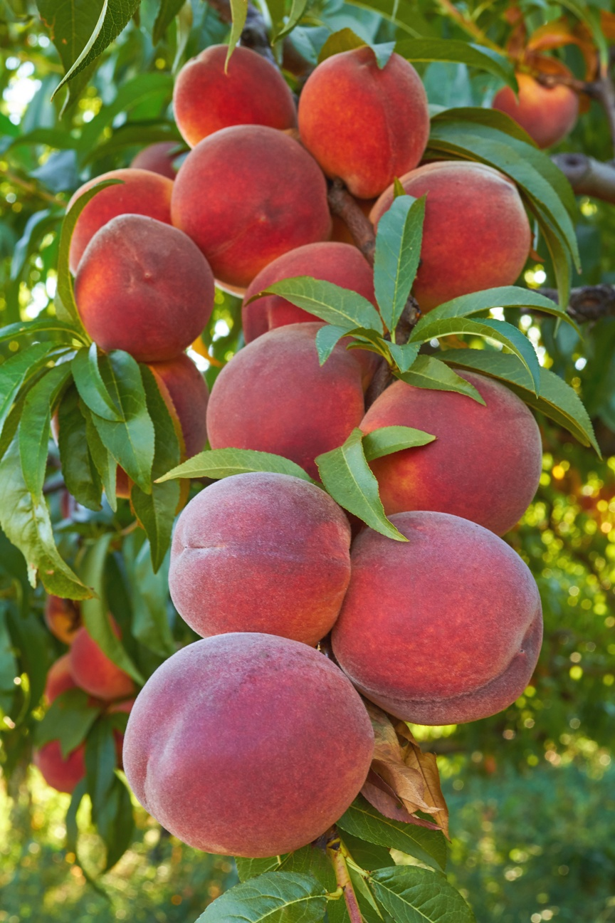 Stone fruit trees